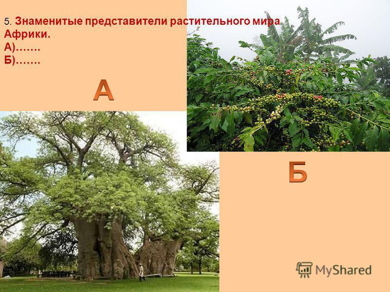 5. Знаменитые представители растительного мира Африки. А)……. Б)…….