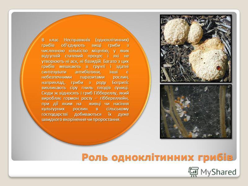 Роль одноклітинних грибів В клас Несправжніх (одноклітинних) грибів обєднують вищі гриби з численною кількістю міцелію, у яких відсутній статевий процес і які не утворюють ні аск, ні базидій. Багато з цих грибів мешкають в ґрунті і здатні синтезувати