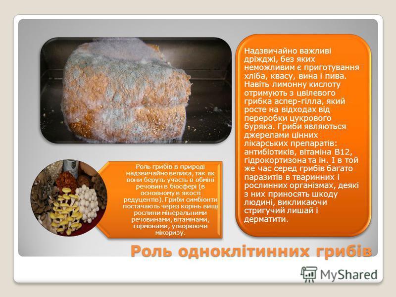 Роль одноклітинних грибів Надзвичайно важливі дріжджі, без яких неможливим є приготування хліба, квасу, вина і пива. Навіть лимонну кислоту отримують з цвілевого грибка аспер-гілла, який росте на відходах від переробки цукрового буряка. Гриби являють