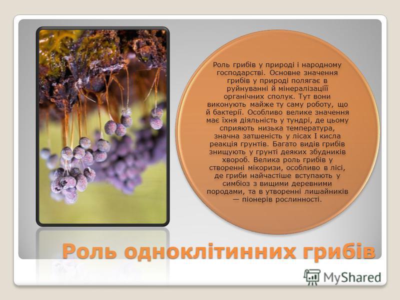 Роль одноклітинних грибів Роль грибів у природі і народному господарстві. Основне значення грибів у природі полягає в руйнуванні й мінералізаціїї органічних сполук. Тут вони виконують майже ту саму роботу, що й бактерії. Особливо велике значення має