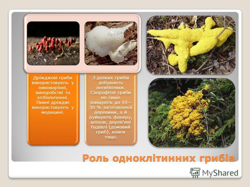 Роль одноклітинних грибів Дріжджові гриби використовують у пивоварінні, виноробстві та хлібопеченні. Пивні дріжджі використовують у медицині. З деяких грибів добувають антибіотики. Сапрофітні гриби не лише знищують до 10 30 % заготовленої деревини, а
