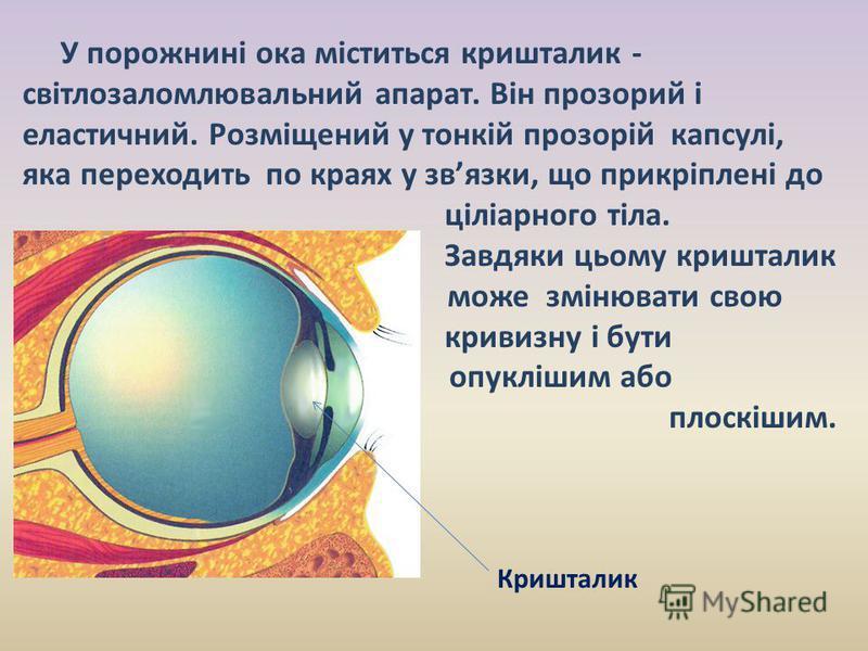 У порожнині ока міститься кришталик - світлозаломлювальний апарат. Він прозорий і еластичний. Розміщений у тонкій прозорій капсулі, яка переходить по краях у звязки, що прикріплені до ціліарного тіла. Завдяки цьому кришталик може змінювати свою криви