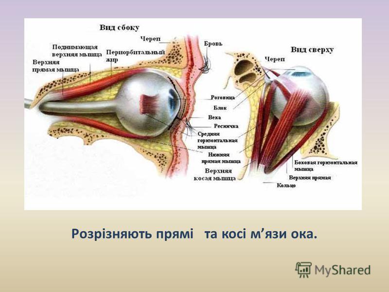 Розрізняють прямі та косі мязи ока. Завдяки мязам око постійно рухається в очній ямці.