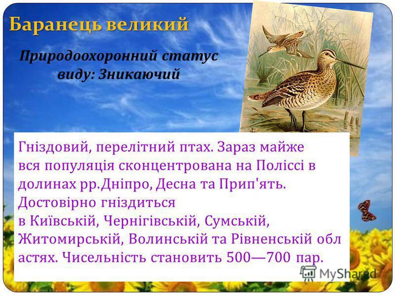 Баранець великий Гніздовий, перелітний птах. Зараз майже вся популяція сконцентрована на Поліссі в долинах рр. Дніпро, Десна та Прип ' ять. Достовірно гніздиться в Київській, Чернігівській, Сумській, Житомирській, Волинській та Рівненській обл астях.