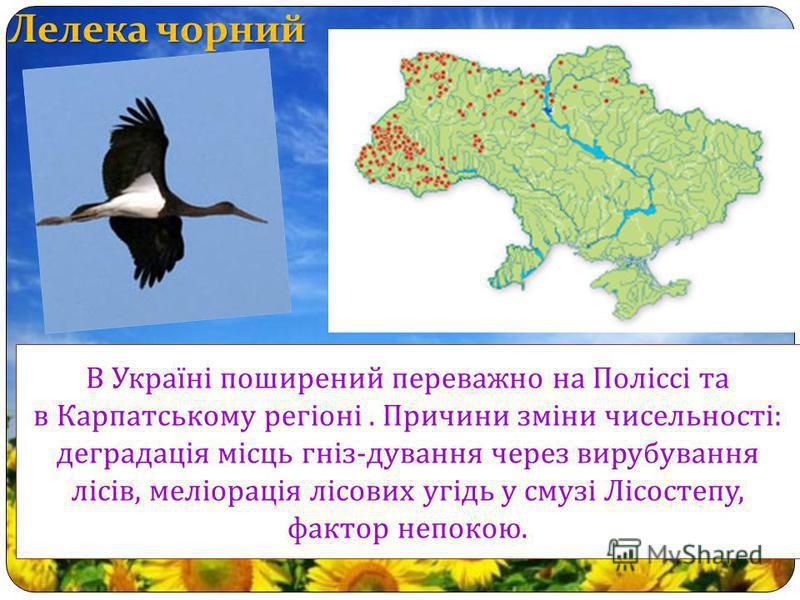 Лелека чорний В Україні поширений переважно на Поліссі та в Карпатському регіоні. Причини зміни чисельності : деградація місць гніз - дування через вирубування лісів, меліорація лісових угідь у смузі Лісостепу, фактор непокою.