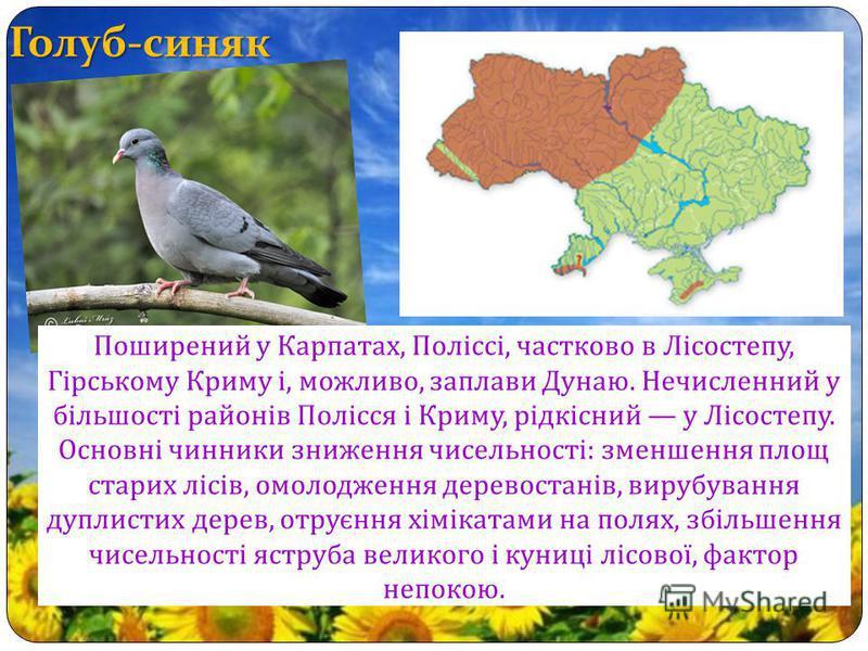 Голуб-синяк Поширений у Карпатах, Поліссі, частково в Лісостепу, Гірському Криму і, можливо, заплави Дунаю. Нечисленний у більшості районів Полісся і Криму, рідкісний у Лісостепу. Основні чинники зниження чисельності : зменшення площ старих лісів, ом
