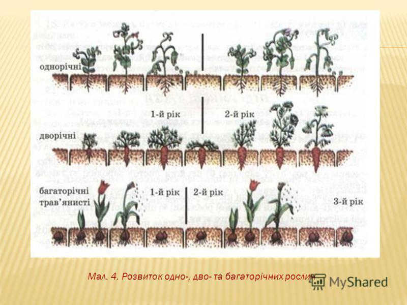 Мал. 4. Розвиток одно-, дво- та багаторічних рослин