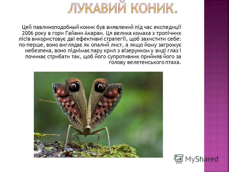 Цей павлиноподобный коник був виявлений під час експедиції 2006 року в гори Гайани Акараи. Ця велика комаха з тропічних лісів використовує дві ефективні стратегії, щоб захистити себе: по-перше, воно виглядає як опалий лист, а якщо йому загрожує небез
