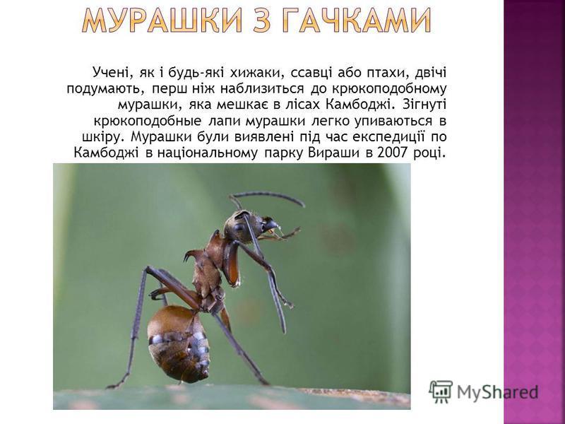 Учені, як і будь-які хижаки, ссавці або птахи, двічі подумають, перш ніж наблизиться до крюкоподобному мурашки, яка мешкає в лісах Камбоджі. Зігнуті крюкоподобные лапи мурашки легко упиваються в шкіру. Мурашки були виявлені під час експедиції по Камб