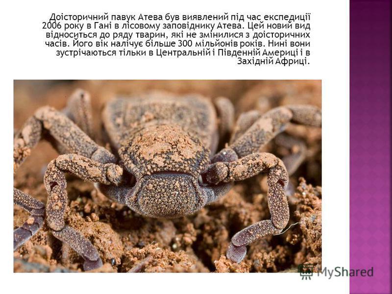 Доісторичний павук Атева був виявлений під час експедиції 2006 року в Гані в лісовому заповіднику Атева. Цей новий вид відноситься до ряду тварин, які не змінилися з доісторичних часів. Його вік налічує більше 300 мільйонів років. Нині вони зустрічаю