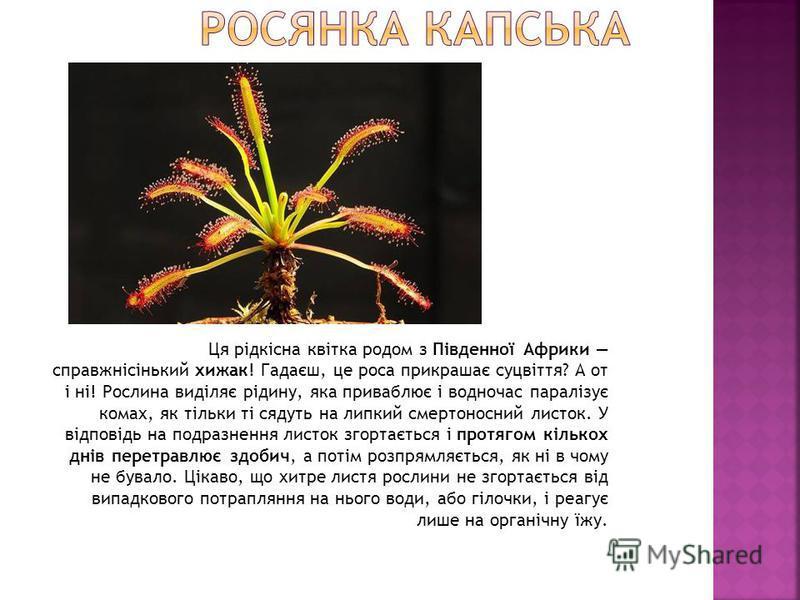 Ця рідкісна квітка родом з Південної Африки справжнісінький хижак! Гадаєш, це роса прикрашає суцвіття? А от і ні! Рослина виділяє рідину, яка приваблює і водночас паралізує комах, як тільки ті сядуть на липкий смертоносний листок. У відповідь на подр