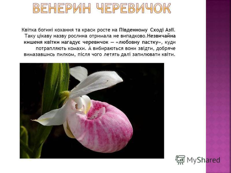 Квітка богині кохання та краси росте на Південному Сході Азії. Таку цікаву назву рослина отримала не випадково.Незвичайна кишеня квітки нагадує черевичок «любовну пастку», куди потрапляють комахи. А вибираються вони звідти, добряче вимазавшись пилком