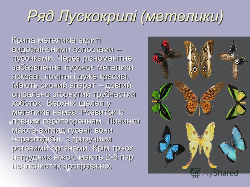 Ряд Лускокрилі (метелики) Крила метеликів вкриті видозміненими волосками – лусочками. Через різноманітне забарвлення лусочок метелики яскраві, помітні і дуже красиві. Мають сисний апарат – довгий спірально згорнутий трубчастий хоботок. Верхніх щелеп