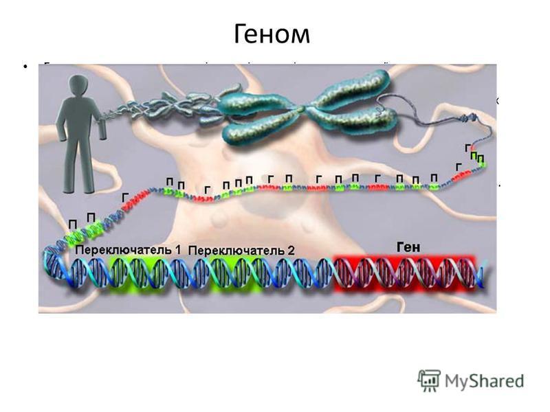 Геном Геномом називають сукупність генів, що містяться в гаплоїдному (одинарному) наборі хромосом даного організму. Геном є характеристикою не окремої особини, а видів організмів. У лютому 2001 року в американських журналах «Nature» і «Science» була