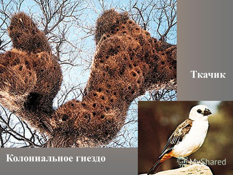 Колониальное гнездо Ткачик