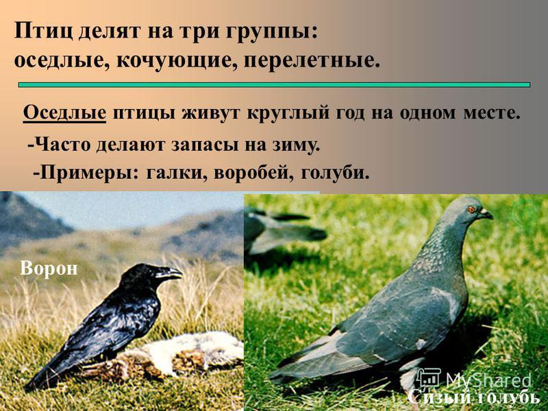 Птиц делят на три группы: оседлые, кочующие, перелетные. Оседлые птицы живут круглый год на одном месте. -Часто делают запасы на зиму. -Примеры: галки, воробей, голуби. Сизый голубь Ворон