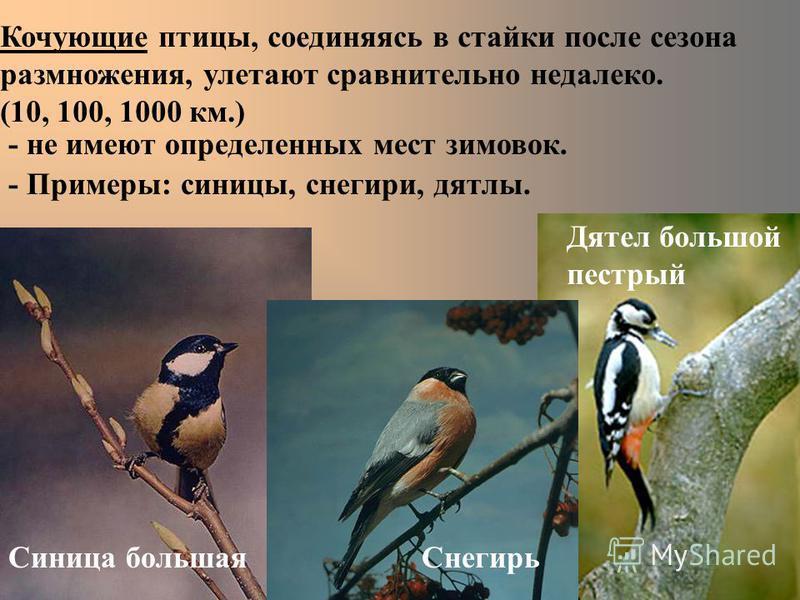 Кочующие птицы, соединяясь в стайки после сезона размножения, улетают сравнительно недалеко. (10, 100, 1000 км.) - не имеют определенных мест зимовок. - Примеры: синицы, снегири, дятлы. Синица большая Дятел большой пестрый Снегирь