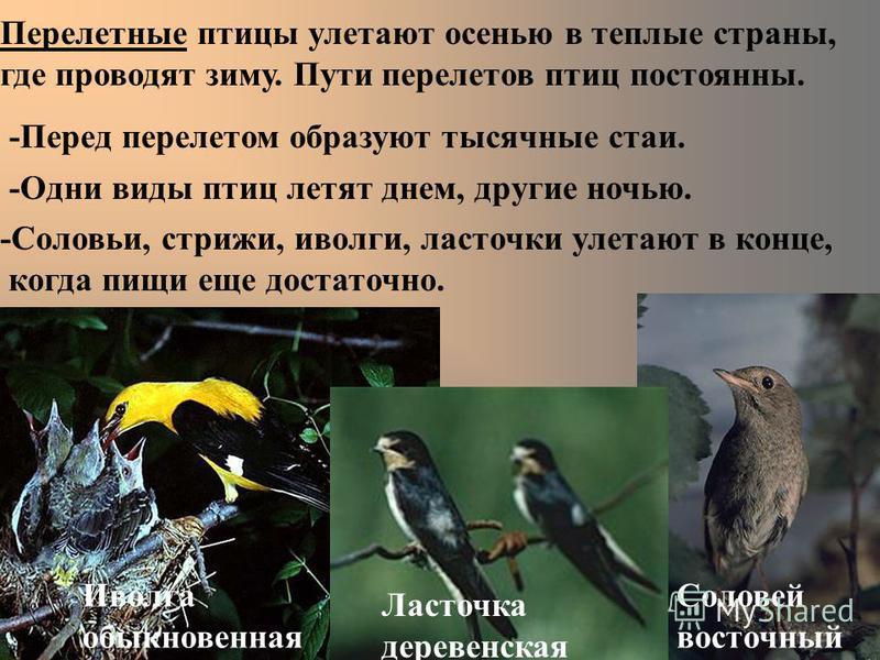 Перелетные птицы улетают осенью в теплые страны, где проводят зиму. Пути перелетов птиц постоянны. -Перед перелетом образуют тысячные стаи. -Одни виды птиц летят днем, другие ночью. -Соловьи, стрижи, иволги, ласточки улетают в конце, когда пищи еще д