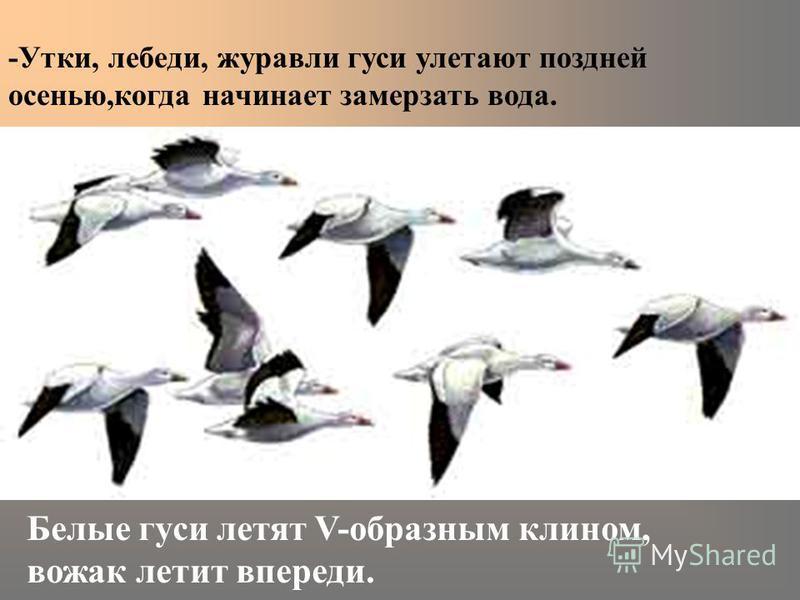 -Утки, лебеди, журавли гуси улетают поздней осенью,когда начинает замерзать вода. Белые гуси летят V-образным клином, вожак летит впереди.