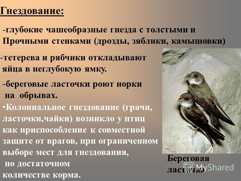 Гнездование: -глубокие чашеобразные гнезда с толстыми и Прочными стенками (дрозды, зяблики, камышовки) -береговые ласточки роют норки на обрывах. Колониальное гнездование (грачи, ласточки,чайки) возникло у птиц как приспособление к совместной защите