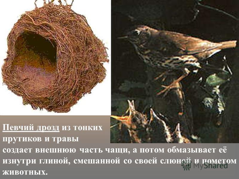 Певчий дрозд из тонких прутиков и травы создает внешнюю часть чащи, а потом обмазывает её изнутри глиной, смешанной со своей слюной и пометом животных.