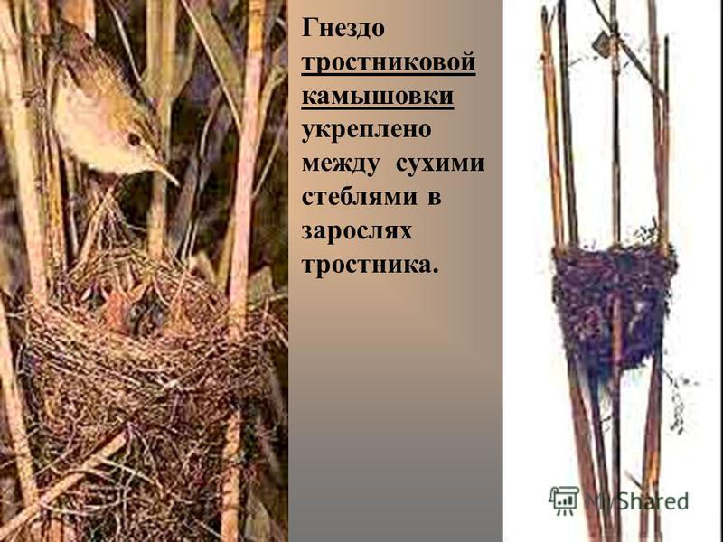 Гнездо тростниковой камышовки укреплено между сухими стеблями в зарослях тростника.
