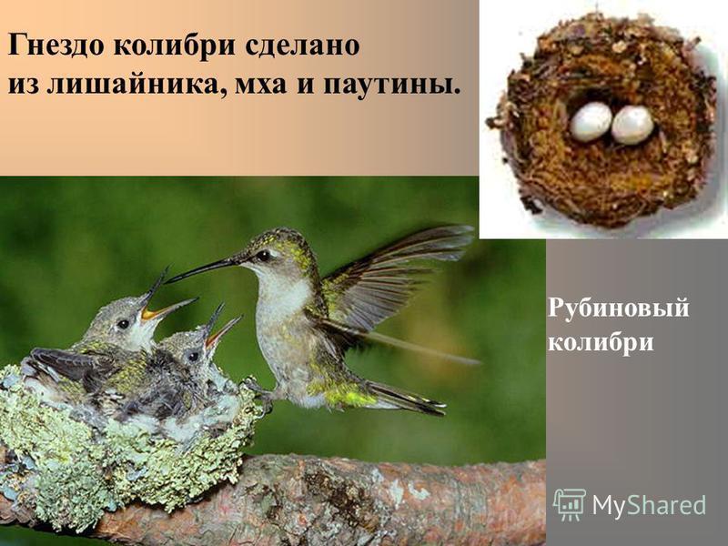 Рубиновый колибри Гнездо колибри сделано из лишайника, мха и паутины.