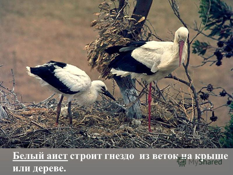 Белый аист строит гнездо из веток на крыше или дереве.