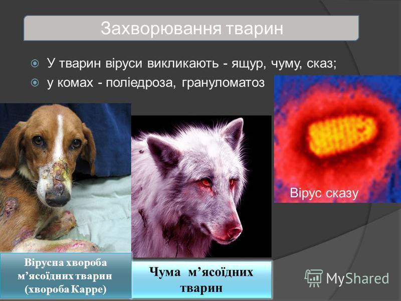Захворювання тварин У тварин віруси викликають - ящур, чуму, сказ; у комах - поліедроза, грануломатоз Вірус сказу Чума мясоїдних тварин Вірусна хвороба мясоїдних тварин (хвороба Карре)