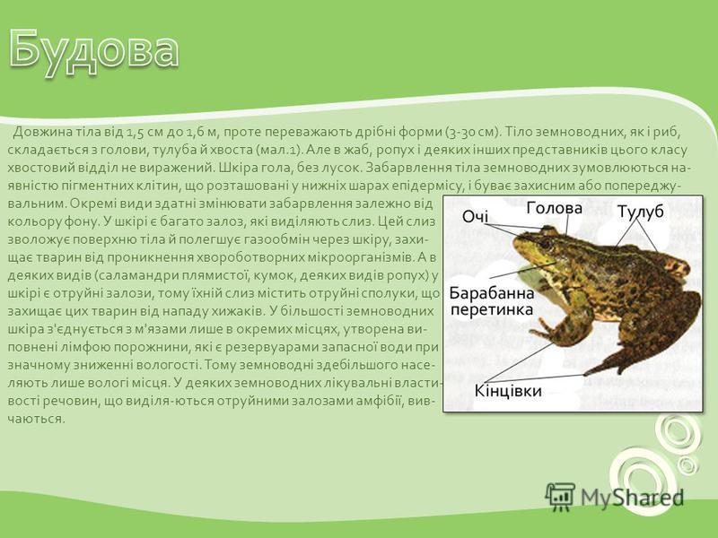 Довжина тіла від 1,5 см до 1,6 м, проте переважають дрібні форми (3-30 см). Тіло земноводних, як і риб, складається з голови, тулуба й хвоста (мал.1). Але в жаб, ропух і деяких інших представників цього класу хвостовий відділ не виражений. Шкіра гола