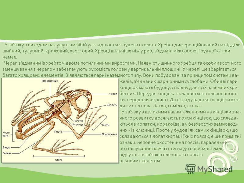 У зв'язку з виходом на сушу в амфібій ускладнюється будова скелета. Хребет диференційований на відділи: шийний, тулубний, крижовий, хвостовий. Хребці щільніше ніж у риб, з'єднані між собою. Грудної клітки немає. Череп з'єднаний із хребтом двома потил