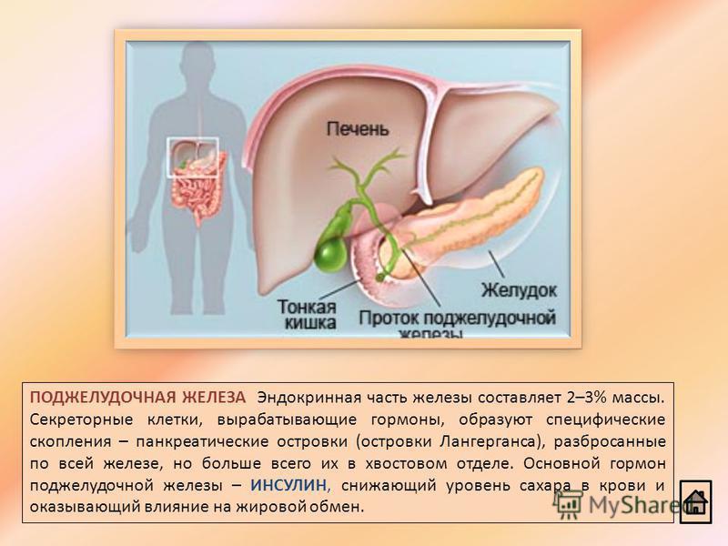 ПОДЖЕЛУДОЧНАЯ ЖЕЛЕЗА Эндокринная часть железы составляет 2–3% массы. Секреторные клетки, вырабатывающие гормоны, образуют специфические скопления – панкреатические островки (островки Лангерганса), разбросанные по всей железе, но больше всего их в хво