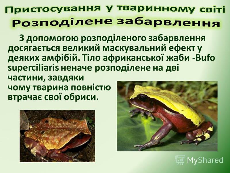 З допомогою розподіленого забарвлення досягається великий маскувальний ефект у деяких амфібій. Тіло африканської жаби -Bufo superciliaris неначе розподілене на дві частини, завдяки чому тварина повністю втрачає свої обриси.