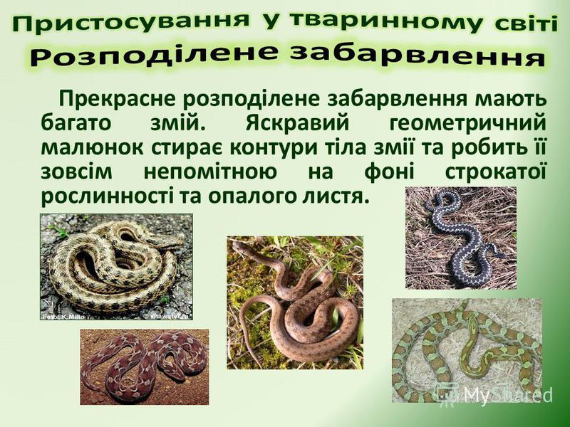 Прекрасне розподілене забарвлення мають багато змій. Яскравий геометричний малюнок стирає контури тіла змії та робить її зовсім непомітною на фоні строкатої рослинності та опалого листя.