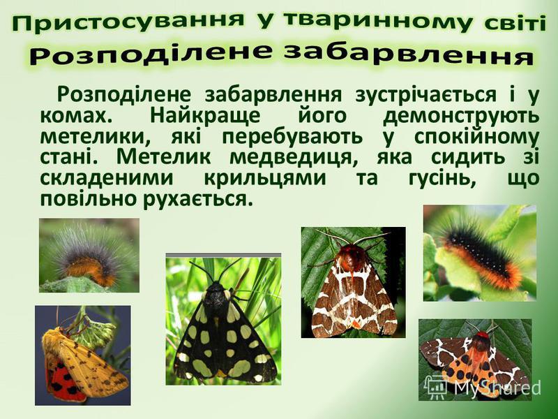 Розподілене забарвлення зустрічається і у комах. Найкраще його демонструють метелики, які перебувають у спокійному стані. Метелик медведиця, яка сидить зі складеними крильцями та гусінь, що повільно рухається.