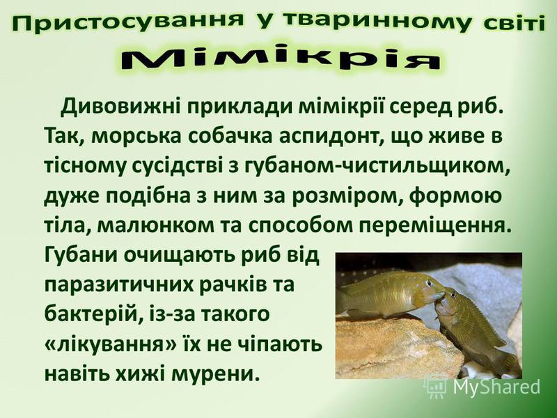 Дивовижні приклади мімікрії серед риб. Так, морська собачка аспидонт, що живе в тісному сусідстві з губаном-чистильщиком, дуже подібна з ним за розміром, формою тіла, малюнком та способом переміщення. Губани очищають риб від паразитичних рачків та ба