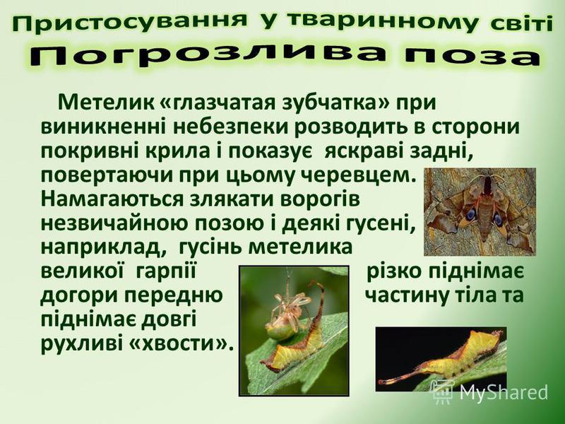 Метелик «глазчатая зубчатка» при виникненні небезпеки розводить в сторони покривні крила і показує яскраві задні, повертаючи при цьому черевцем. Намагаються злякати ворогів незвичайною позою і деякі гусені, наприклад, гусінь метелика великої гарпії р