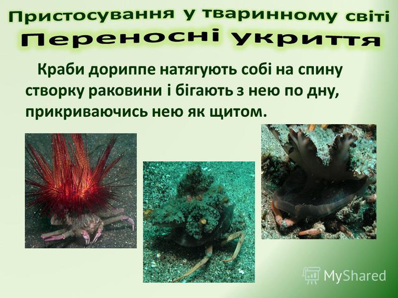 Краби дориппе натягують собі на спину створку раковини і бігають з нею по дну, прикриваючись нею як щитом.