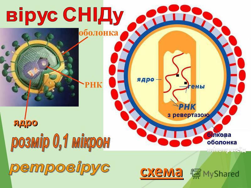 схема білкова оболонка глікопротеїд білкова оболонка глікопротеїд оболонка РНК ядро з ревертазою