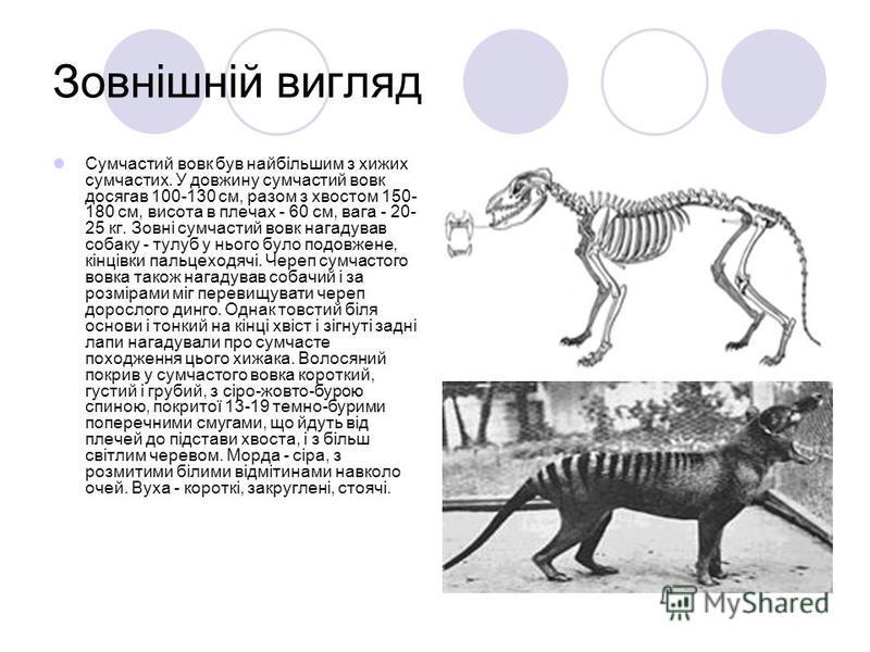 Зовнішній вигляд Сумчастий вовк був найбільшим з хижих сумчастих. У довжину сумчастий вовк досягав 100-130 см, разом з хвостом 150- 180 см, висота в плечах - 60 см, вага - 20- 25 кг. Зовні сумчастий вовк нагадував собаку - тулуб у нього було подовжен