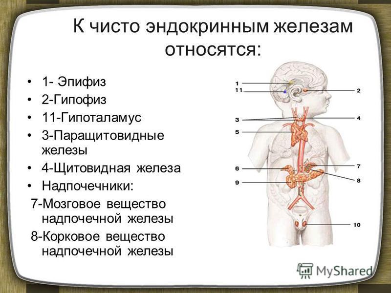 К чисто эндокринным железам относятся: 1- Эпифиз 2-Гипофиз 11-Гипоталамус 3-Паращитовидные железы 4-Щитовидная железа Надпочечники: 7-Мозговое вещество надпочечной железы 8-Корковое вещество надпочечной железы
