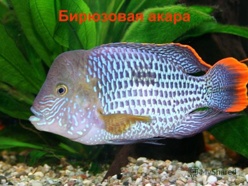 Бирюзовая акара