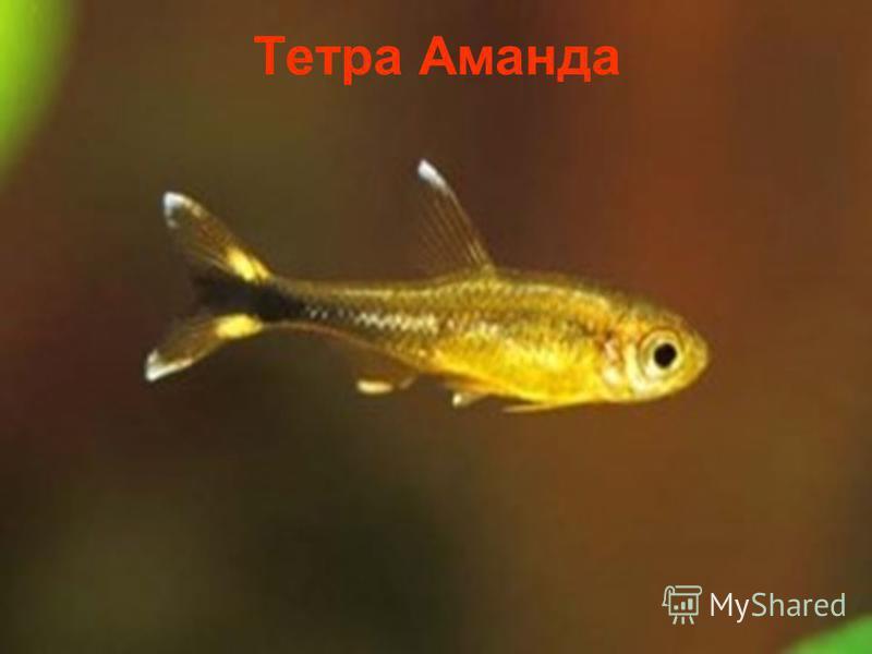 Тетра Аманда