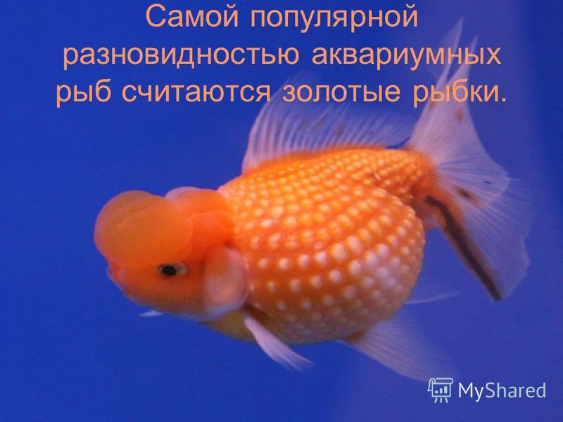 Самой популярной разновидностью аквариумных рыб считаются золотые рыбки.