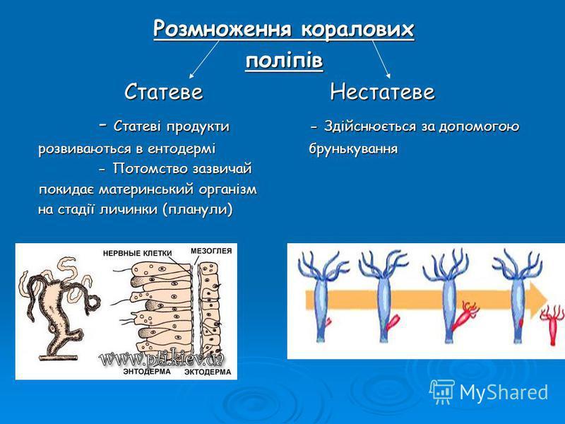 Розмноження коралових поліпів Статеве Нестатеве - Статеві продукти - Здійснюється за допомогою розвиваються в ентодермі брунькування - Потомство зазвичай покидає материнський організм на стадії личинки (планули)