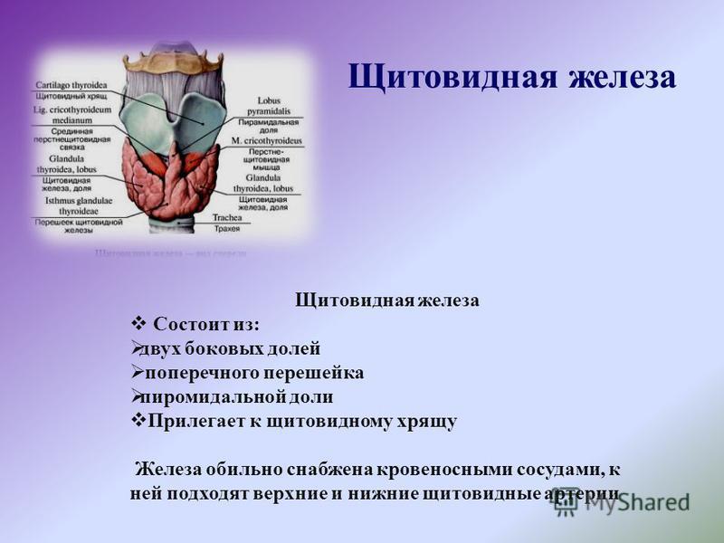 Щитовидная железа Состоит из: двух боковых долей поперечного перешейка пирамидальной доли Прилегает к щитовидному хрящу Железа обильно снабжена кровеносными сосудами, к ней подходят верхние и нижние щитовидные артерии Щитовидная железа