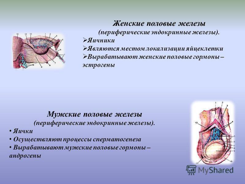 Женские половые железы (периферические эндокринные железы). Яичники Являются местом локализации яйцеклетки Вырабатывают женские половые гормоны – эстрогены Мужские половые железы (периферические эндокринные железы). Яички Осуществляют процессы сперма