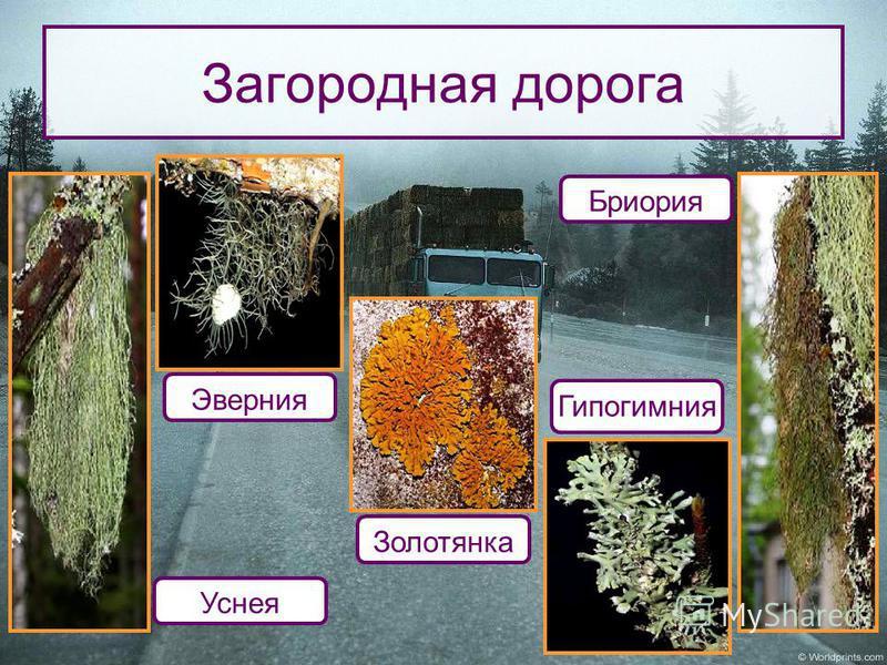 Загородная дорога Бриория Гипогимния Золотянка Эверния Уснея