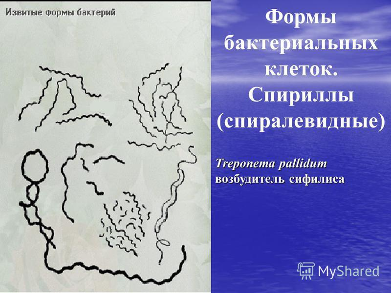 Формы бактериальных клеток. Спириллы (спиралевидные) Treponema pallidum возбудитель сифилиса