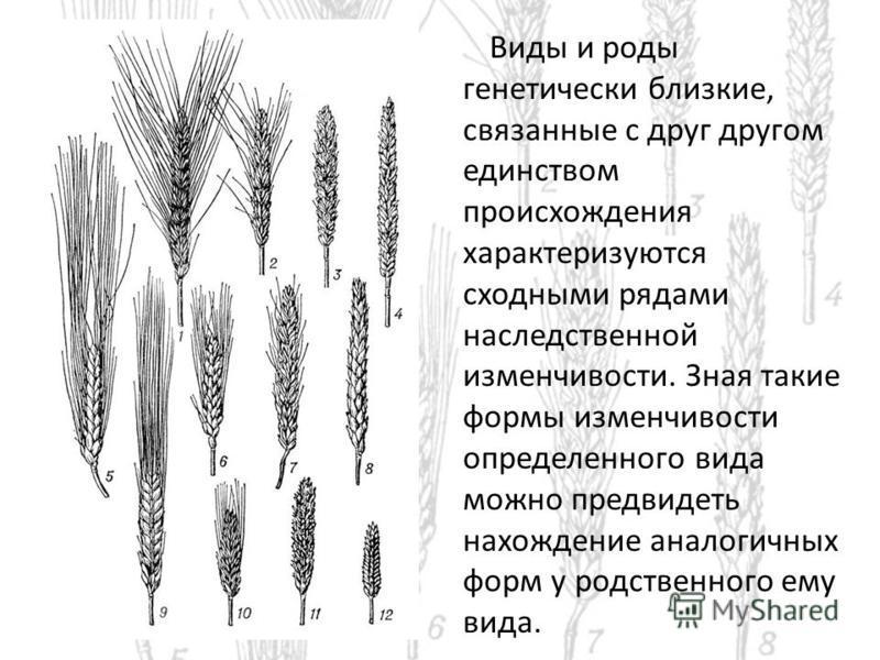 Виды и роды генетически близкие, связанные с друг другом единством происхождения характеризуются сходными рядами наследственной изменчивости. Зная такие формы изменчивости определенного вида можно предвидеть нахождение аналогичных форм у родственного